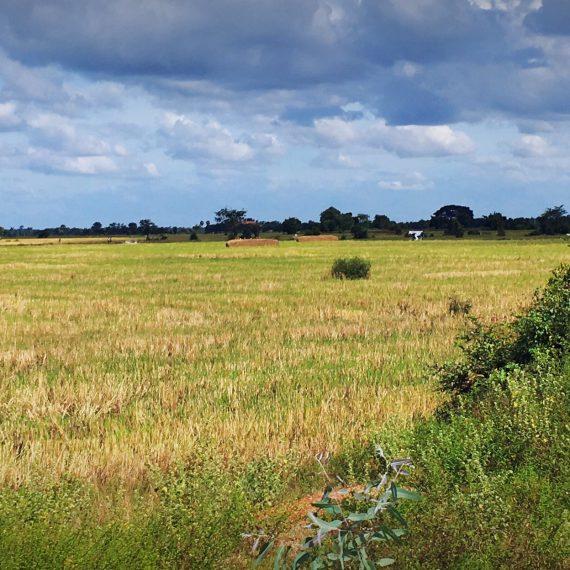 Au milieu des rizières …